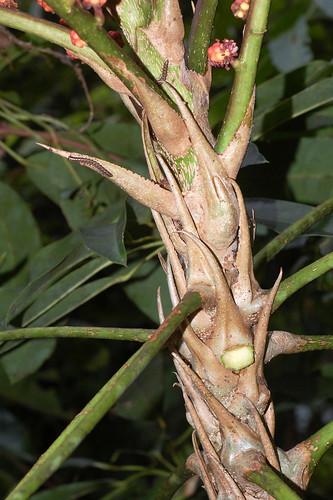 Schefflera actinophylla DSC_0035