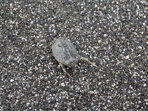 浪花蟹。圖片來源:朱雲瑋