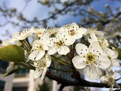White Blossom Pear Tree