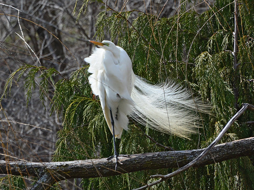 Morninside Egret - 8032
