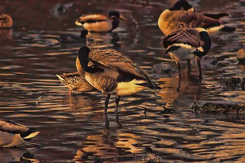 Golden Geese