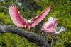 Roseate Spoonbills Mating Games