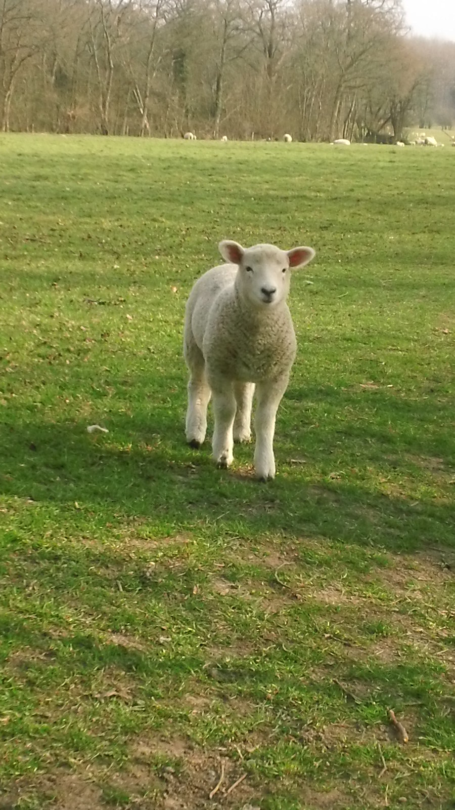 Little lamb near Penshurst station