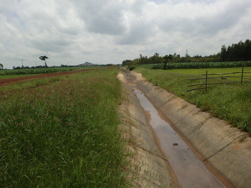 Rhodes grass at the edge of primary canal_Koga  (Photo:ILRI\Yigzaw Dessalegne)