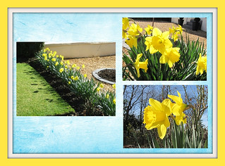My Daffs before the wind and rain battered them!
