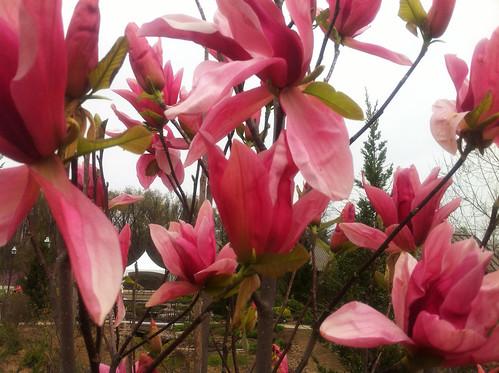 Magnolia 'Daybreak' BGO 4 16 13 (2)