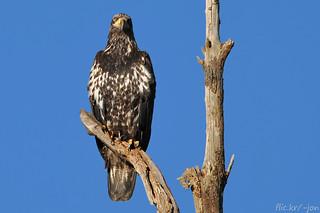 2014-02-08 Bald Eagle (D90 Archives) (1024x680)