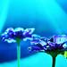 Beautiful daisy by prince rob