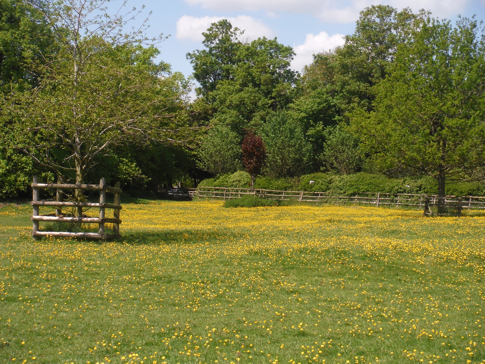 Buttercups, Waterstock SWC Walk 190 - Thame Circular (Extension)