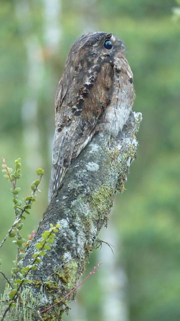 Common potoo - Ibijau gris - Nyctibius griseus