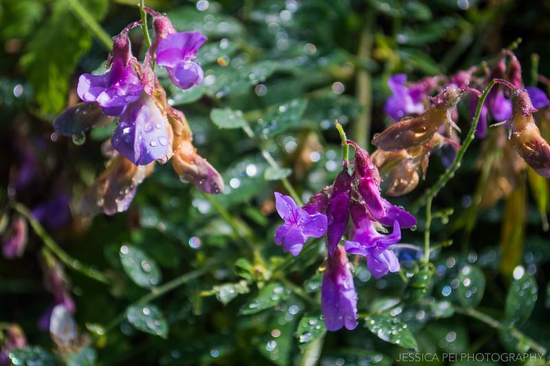 Purple Flowers after Rain Pfeiffer Big Sur State Park California