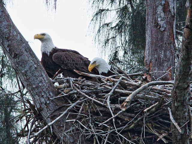 Bald Eagle female joins male on nest 20150316