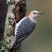 Red Bellied woodpecker by anitahogue