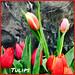 Tulips - Lafayette Florist, Gift Shop & Garden Center