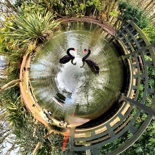 Black Swans, TinyPlanet version
