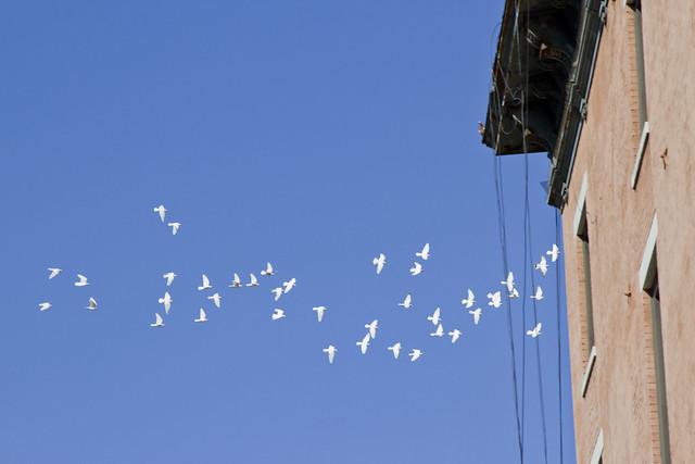 white pigeons | reading my tea leaves