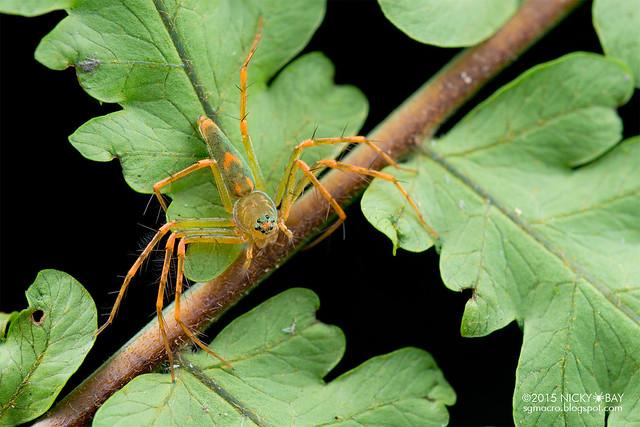 Lynx spider (Hamadruas sp.) - DSC_3194