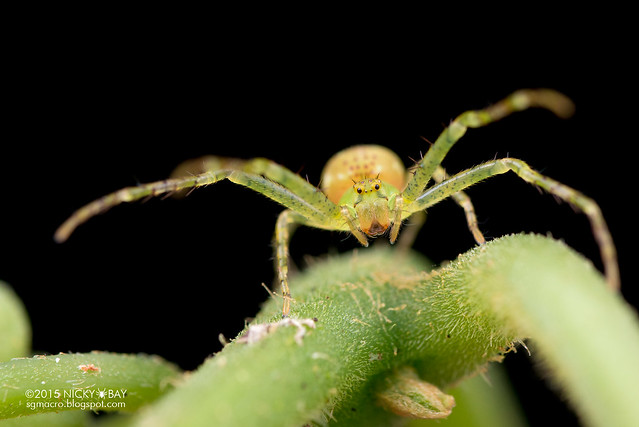 Crab spider (Epidius sp.) - DSC_5185