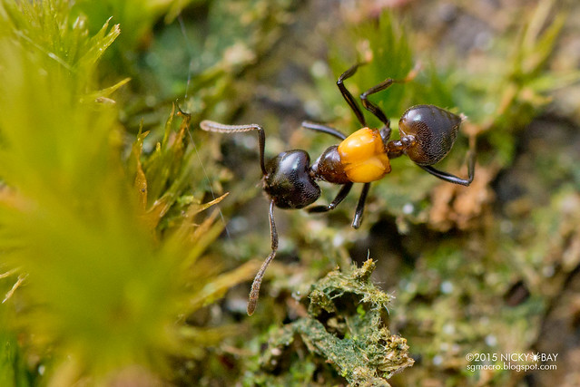 Ant (Crematogaster inflata) - DSC_4946