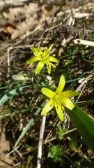 erythronium(0.0), wildflower(0.0), lily(1.0), flower(1.0), leaf(1.0), yellow(1.0), plant(1.0), gagea(1.0), flora(1.0),