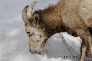 775 big horn sheep, ewe