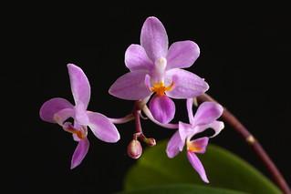 Phalaenopsis equestris Ilocos-type