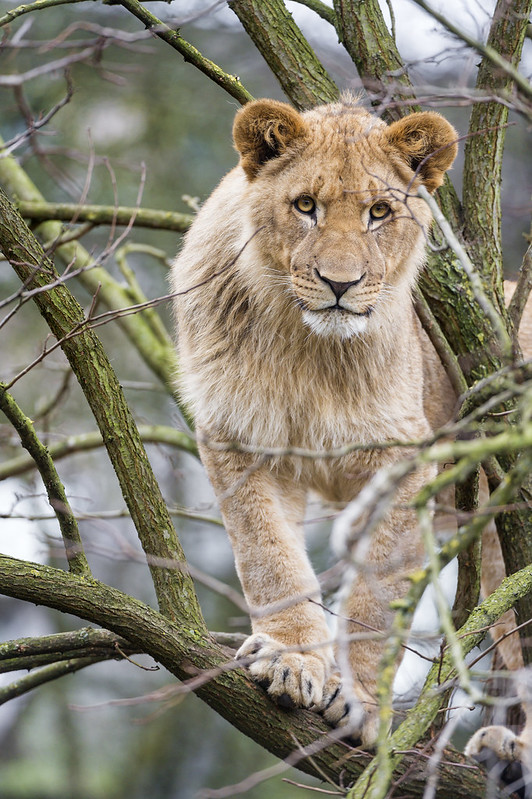 Lion standing on the branch