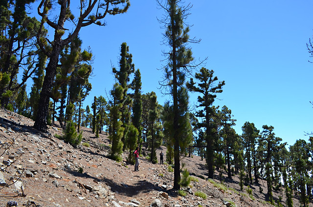 Pine forest, Tenerife