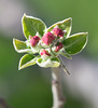 Early Apple Blossom