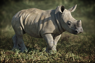 young white rhino full frame