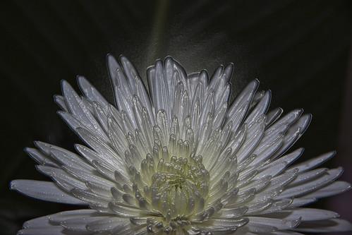 Frozen Chrysanthemum