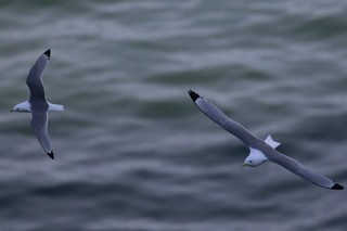 A pair of Common gulls