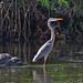 Great Gray Egret