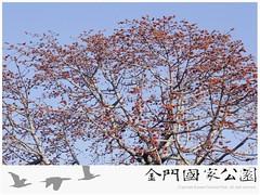 木棉-01