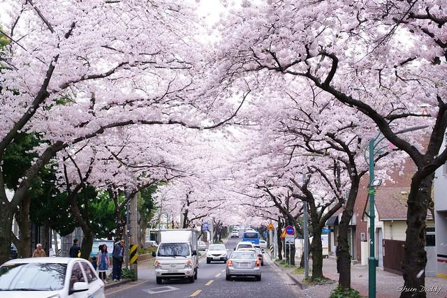 Korea Jeju Sakura
