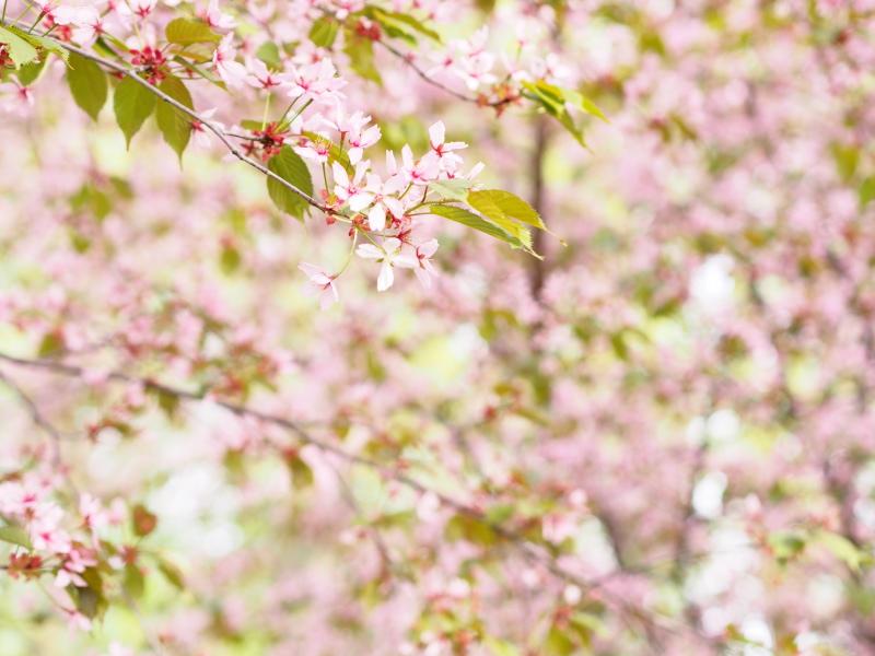 Cherry Blossom Trees in Roihuvuori, Helsinki