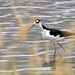Black-necked Stilt (Himantopus mexicanus) by youngwarrior