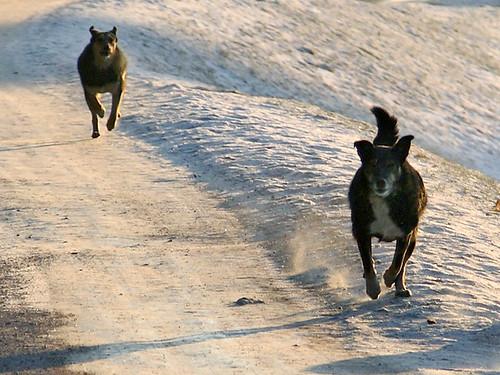 У Читі введено режим НС після того, як зграя бродячих собак загризла школяра