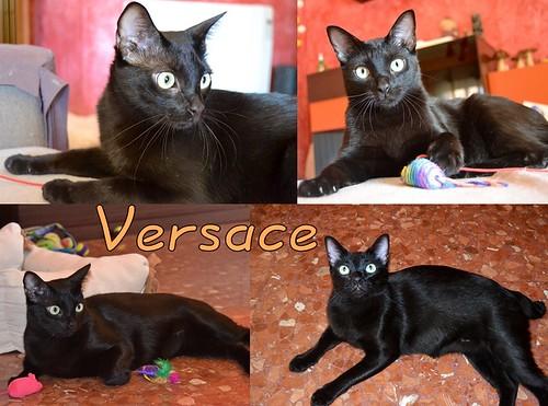 Versace, panterita zalamero y trasto nacido en Marzo´12, de cola cortita, esterilizado y sano. Valencia. ADOPTADO. 16558827068_f60e2a9bc4