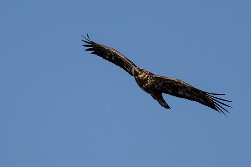 Bald Eagle_43141.jpg
