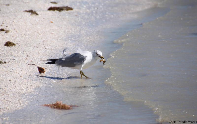Sanibel Seagull