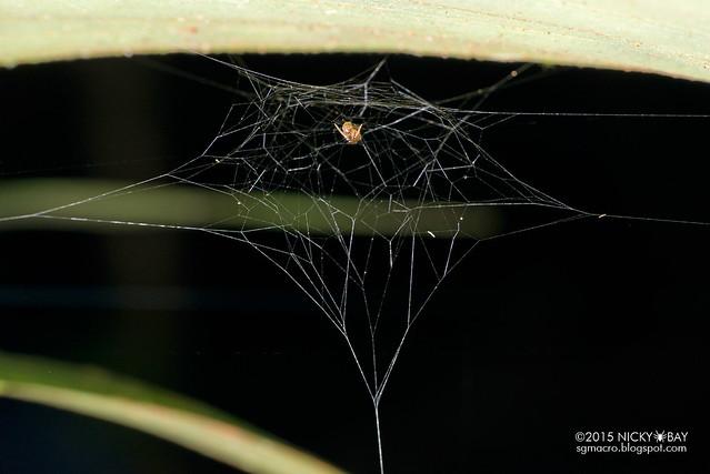 Minute litter spider? (Mysmenidae?) - DSC_4499