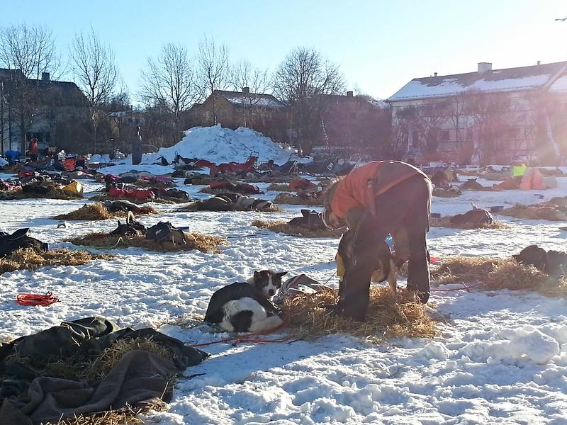 Harald Tunheim steller hundene på sjekkpunktet Kirkenes under 16 timers hvilen. Foto: Eirik Fløtlien