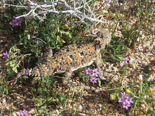 Desert wildflowers at desert tortoise natural area (6)