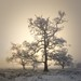 Trees in mist by Roksoff