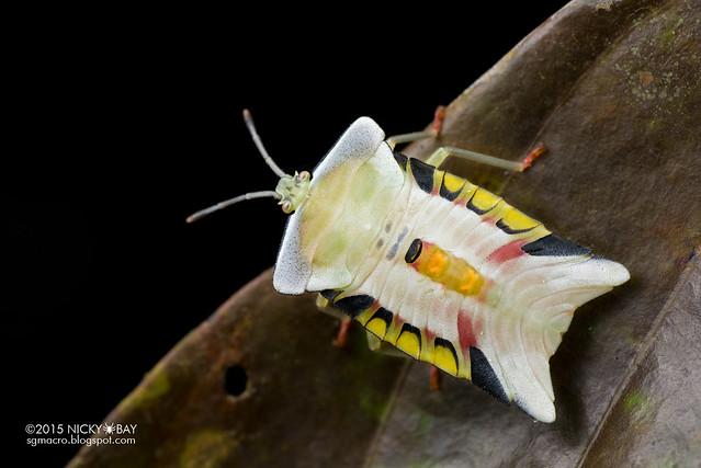 Giant shield bug (Tessaratomidae) - DSC_3132