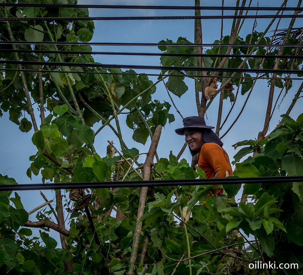Phuket provincial electricity authority (PEA) removing bamboos and other trees from the powerline as preventative measure at Ao Por