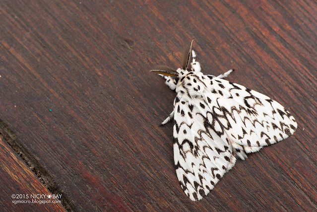 Moth (Lymantria sp.) - DSC_4262