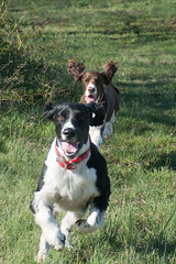 border collie(0.0), animal(1.0), dog(1.0), grass(1.0), pet(1.0), stabyhoun(1.0), mammal(1.0), spaniel(1.0), english springer spaniel(1.0),