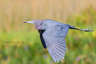 The flight of the Little Blue Heron